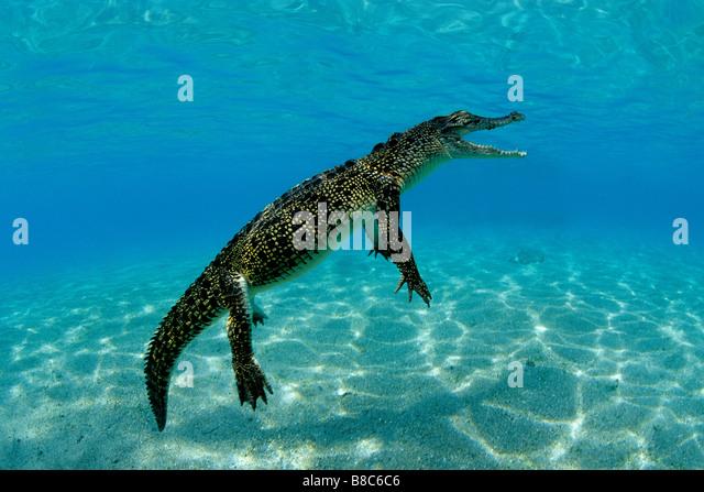 Coccodrillo di acqua salata Immagini Stock