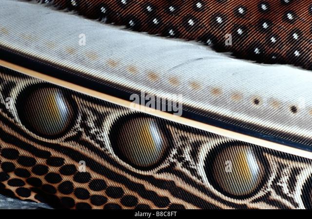 Grande ARGUS fagiano Immagini Stock