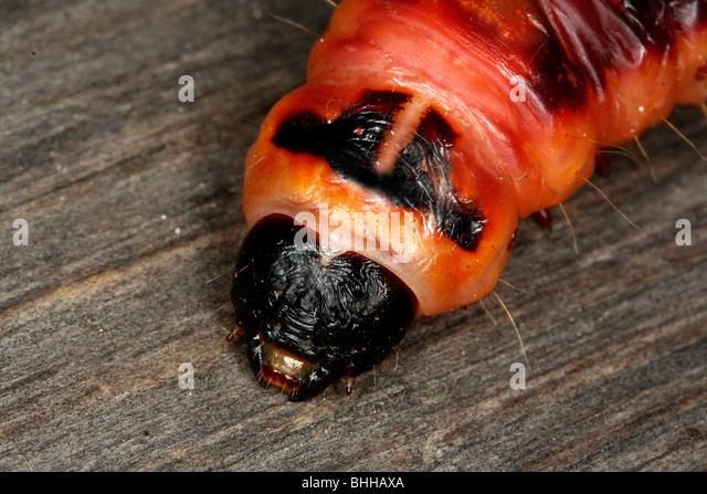 Capra Moth caterpillar, close-up, Svezia. Immagini Stock