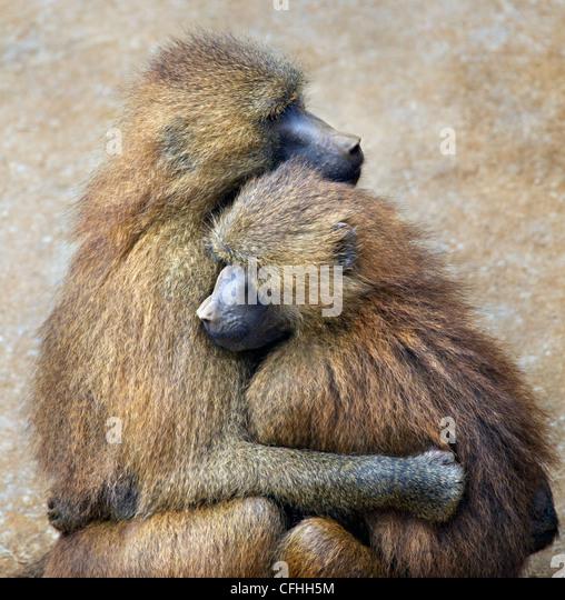 La Guinea babbuino giovane, Cabarceno, Spagna Immagini Stock