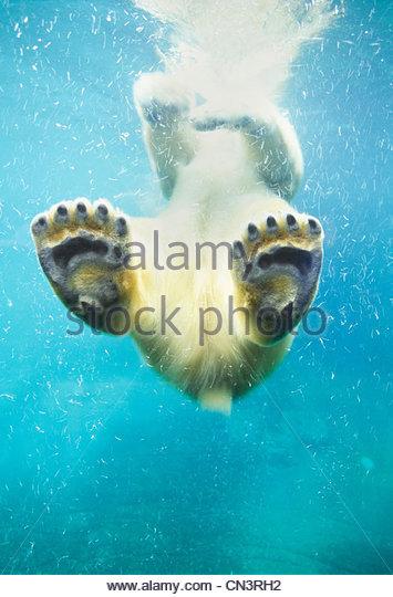 Nuoto orso polare, America del Nord Immagini Stock