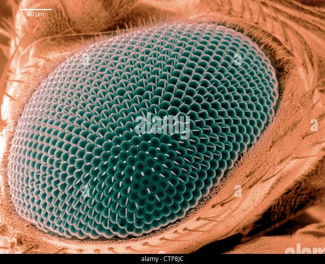 La scansione di immagine al microscopio elettronico di un occhio su una mosca della frutta. Immagini Stock