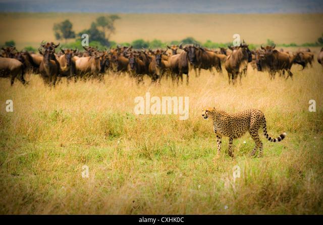 caccia del ghepardo Immagini Stock