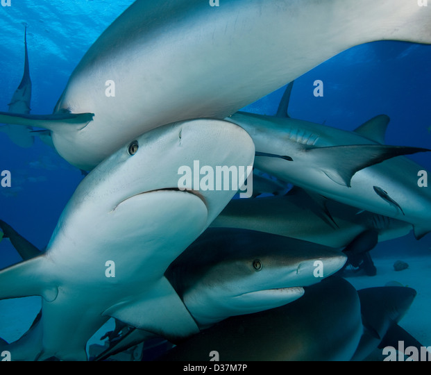 Gli squali nuotare sott'acqua Immagini Stock
