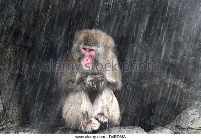Una femmina di neve rifugi di scimmia da una tempesta di neve Immagini Stock
