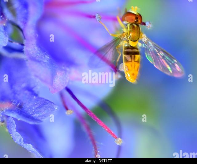 Hoverfly arroccato su di un fiore per raccogliere il polline. Immagini Stock