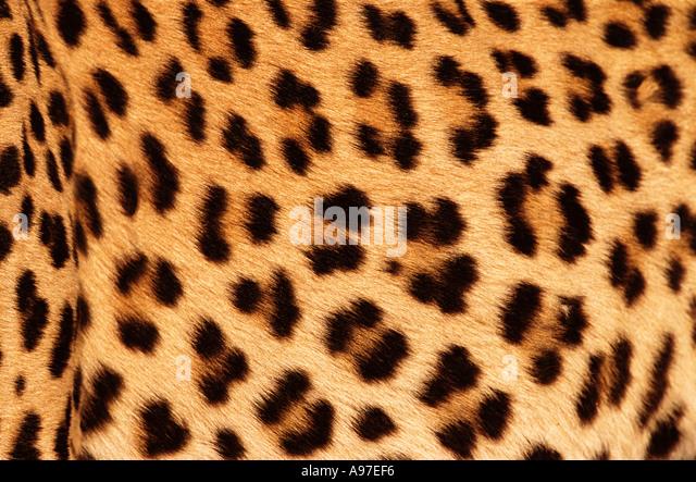 Pele de leopardo Imagens de Stock