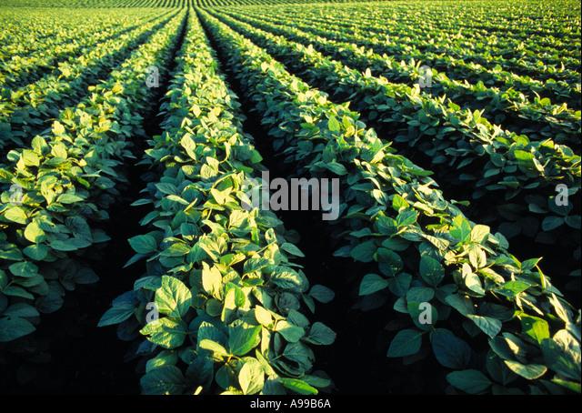 Agricultura - meados de crescimento de soja / Iowa, EUA. Imagens de Stock