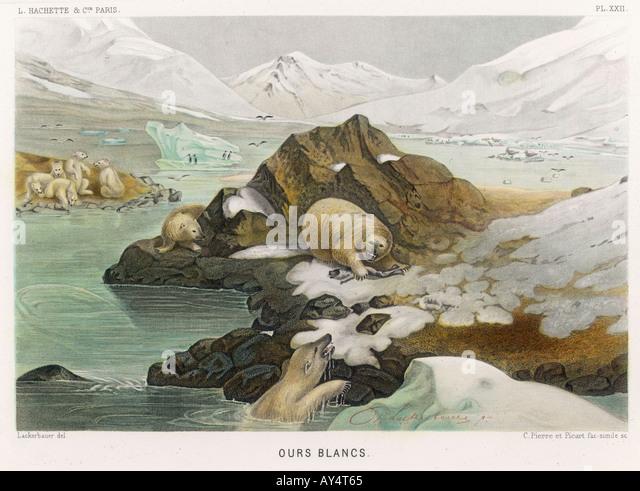 Urso polar Fredol Imagens de Stock
