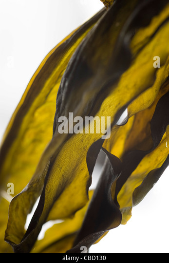 Algas secas (wakame) Imagens de Stock