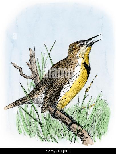 Western meadowlark cantar. Imagens de Stock