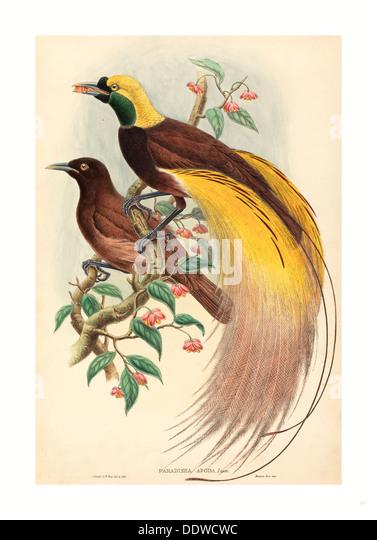 John Gould e W. Hart (British, 1804 - 1881 ), Aves do Paraíso (Paradisae apoda), publicada 1875 1888, lado Imagens de Stock
